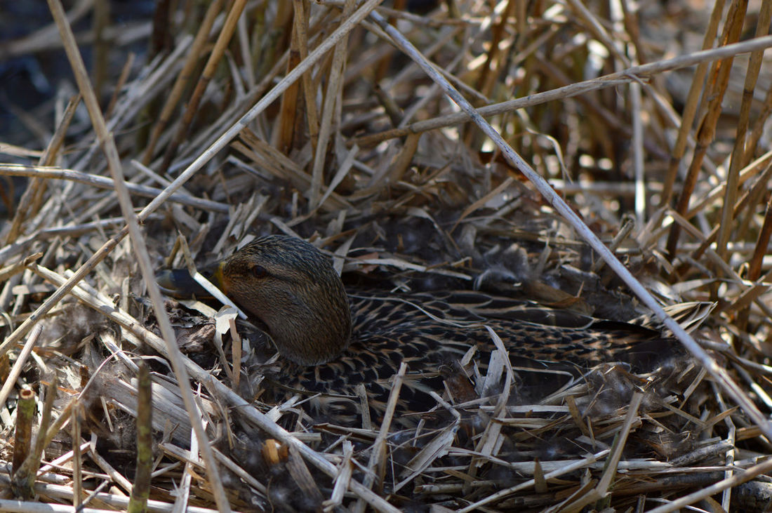 Barely visible... One Animal Animal Themes High Angle View Animals In The Wild Nature Field Outdoors No People Grass Day Close-up Mammal Spring Breeding Nest Duck Reed Bird Birds Ducks Nesting Reproduction Animal Portrait Camouflaged