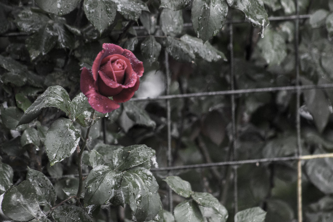 Beauty In Nature Blooming Close-up Day Drop Flower Flower Head Focus On Foreground Fragility Freshness Growth Leaf Nature No People Outdoors Petal Plant Rose - Flower Water Softness After Rain Wet RainDrop Red Rose Red