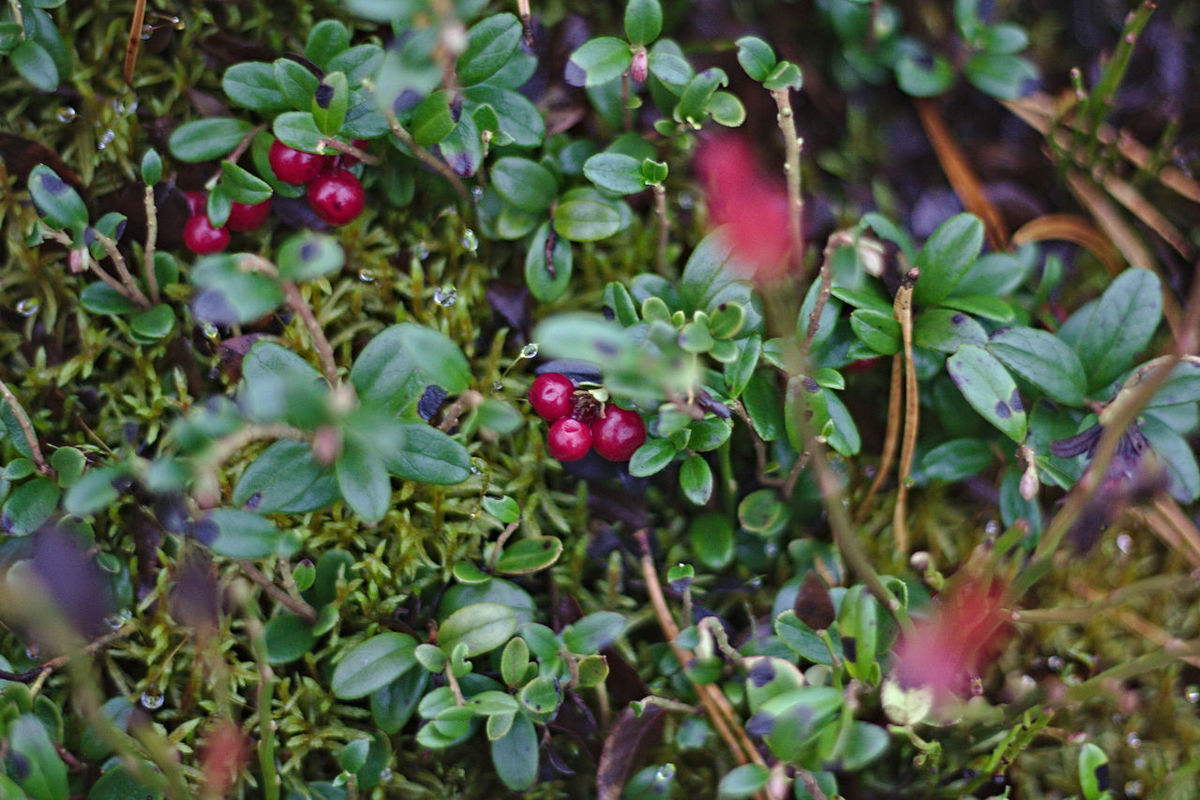 Sharply red-coloured fox berries and their dark green leafs Berry Close-up Foxberry Fresh Freshness Green Green Color Growth Leaf Moss Nature No People Norway Red