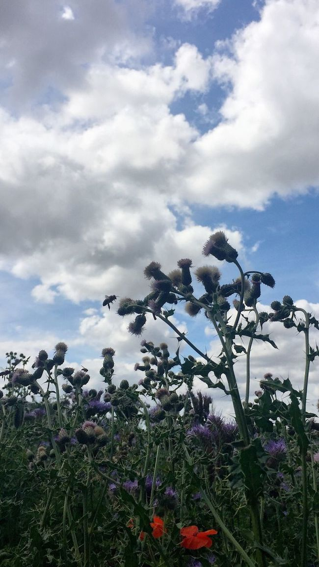 Nature Farmland Plants And Flowers Flowers, Nature And Beauty Flowers_collection Bee Bee In Motion Bee In Flight Sky Field Of Flowers Blue Purple Red Poppies  Sunshine Outdoor Photography Clouds And Sky Clouds Capturing Motion