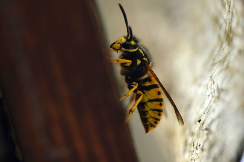 EyeEm Selects Under the roof... Insect Animal Wildlife One Animal Animals In The Wild Animal Themes Day Outdoors No People Close-up Nature Full Length Wasp Wasp Macro Wasps Vespula Germanica Macro Macro Insects Wildlife Photography Fragility Natural Pattern Beauty In Nature Wooden Roof Perching