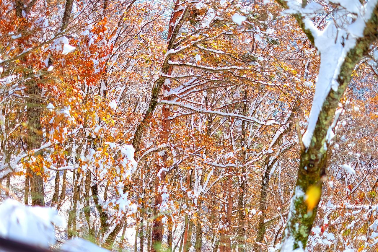 Autumn Autumn Snow Beauty In Nature Branch Close-up Color Change Maple Maple Leaf Maple Leaves Maple Tree Outdoors Season Change Snow Tree