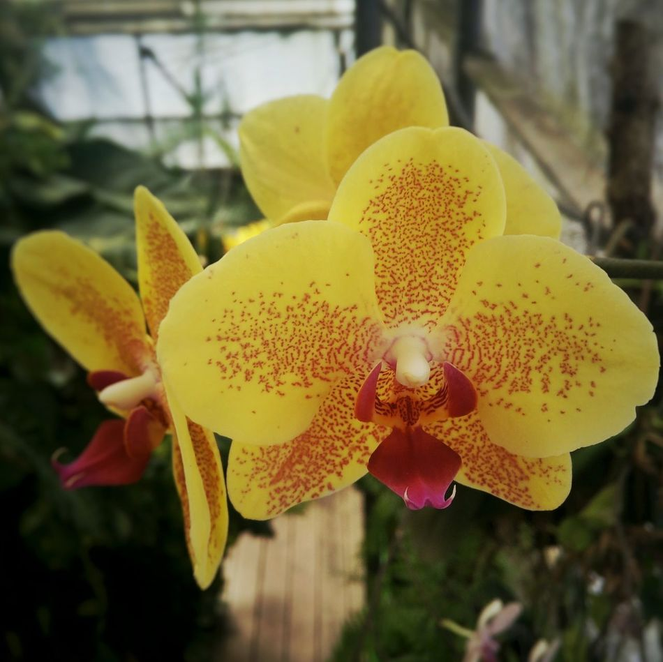 Nature Flower Growth Beauty In Nature Yellow Flower Head Close-up Blossom Flower Orchidea Orchid Flowers Orchids Garden Tranquil Scene Orchid Blossoms Indoor Gardening Indoor Garden Purple Orchid Yellow Orchid Multi Color Orchid