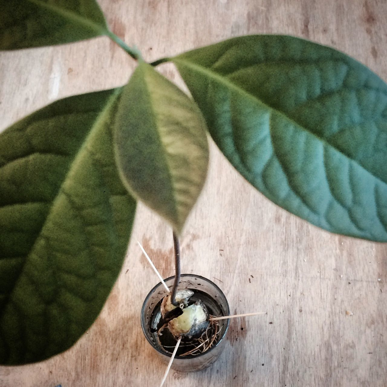 Leaf Plant No People Day Close-up Nature Indoors  Avocado Avocadotree Urbanjungle Blogger Plants Plants 🌱