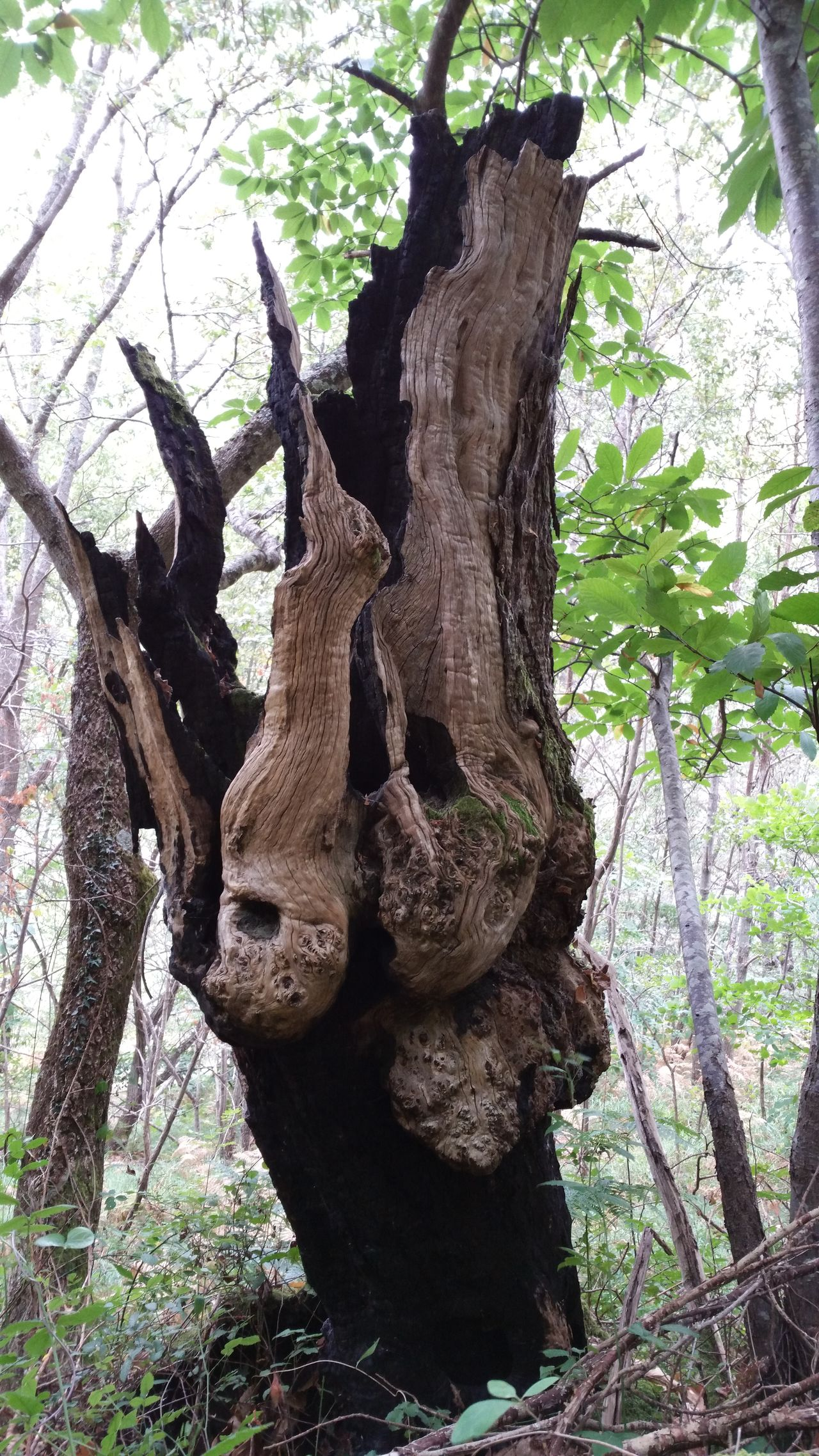 Tree Trunk Tree Dead Plant Tronco Terrorific Tree árbol Nature Otoño Bosque