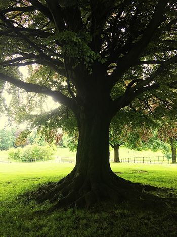 Tree Park Old Tree Beauty In Nature Beautiful Shape Large Tree Trunk My Photography Welcome To My World Walking Around