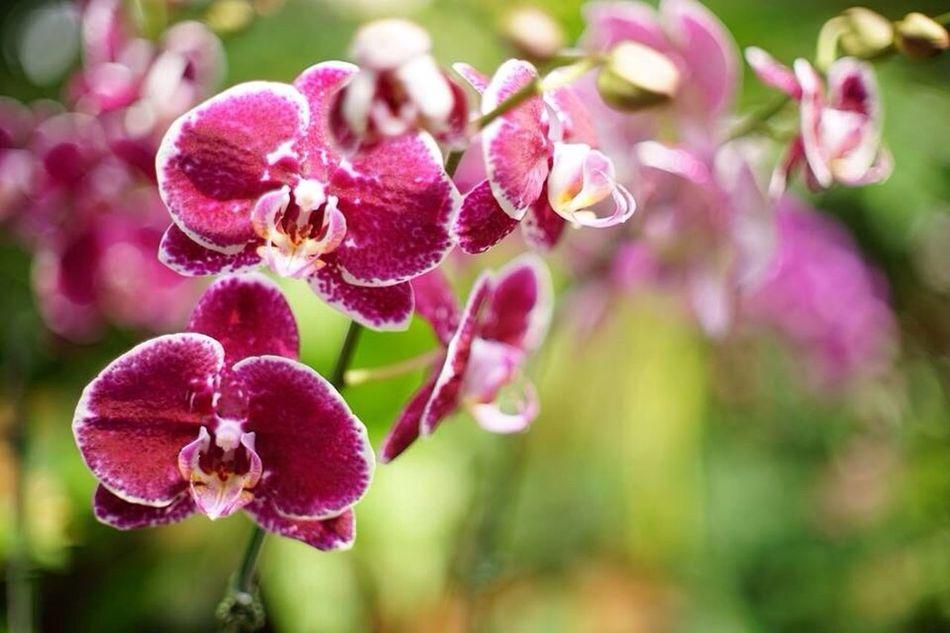 Orchid Flowers Singapore botanic garden,