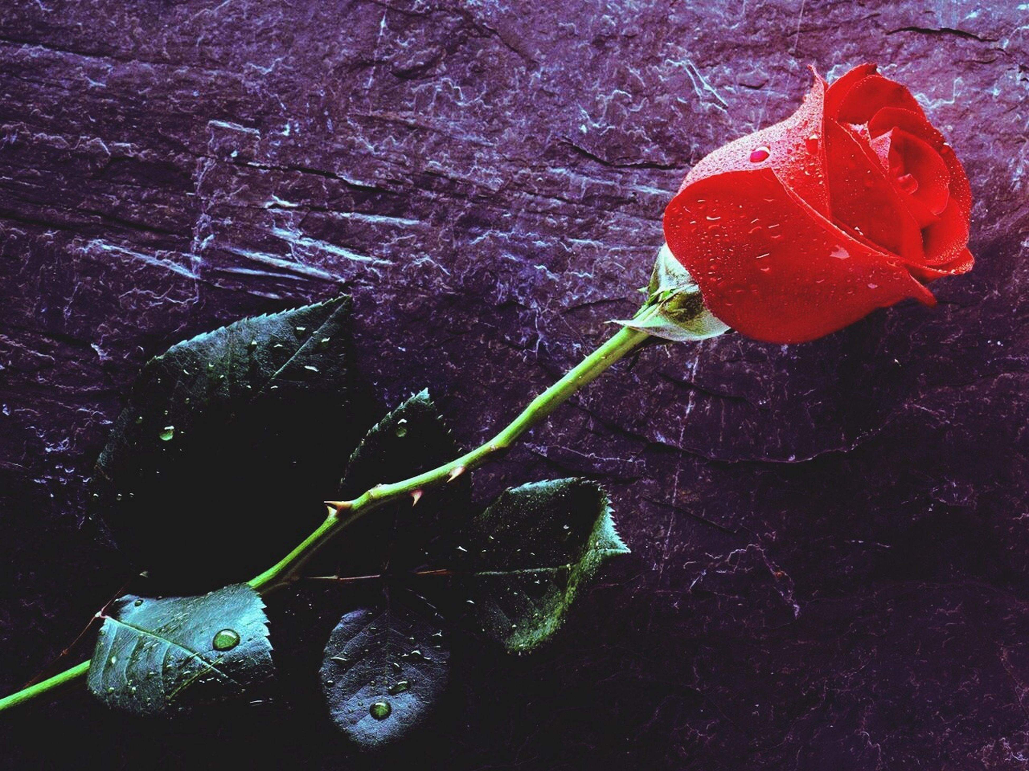 flower, fragility, freshness, water, drop, petal, close-up, wet, beauty in nature, flower head, growth, plant, nature, leaf, stem, red, rose - flower, single flower, high angle view, dew