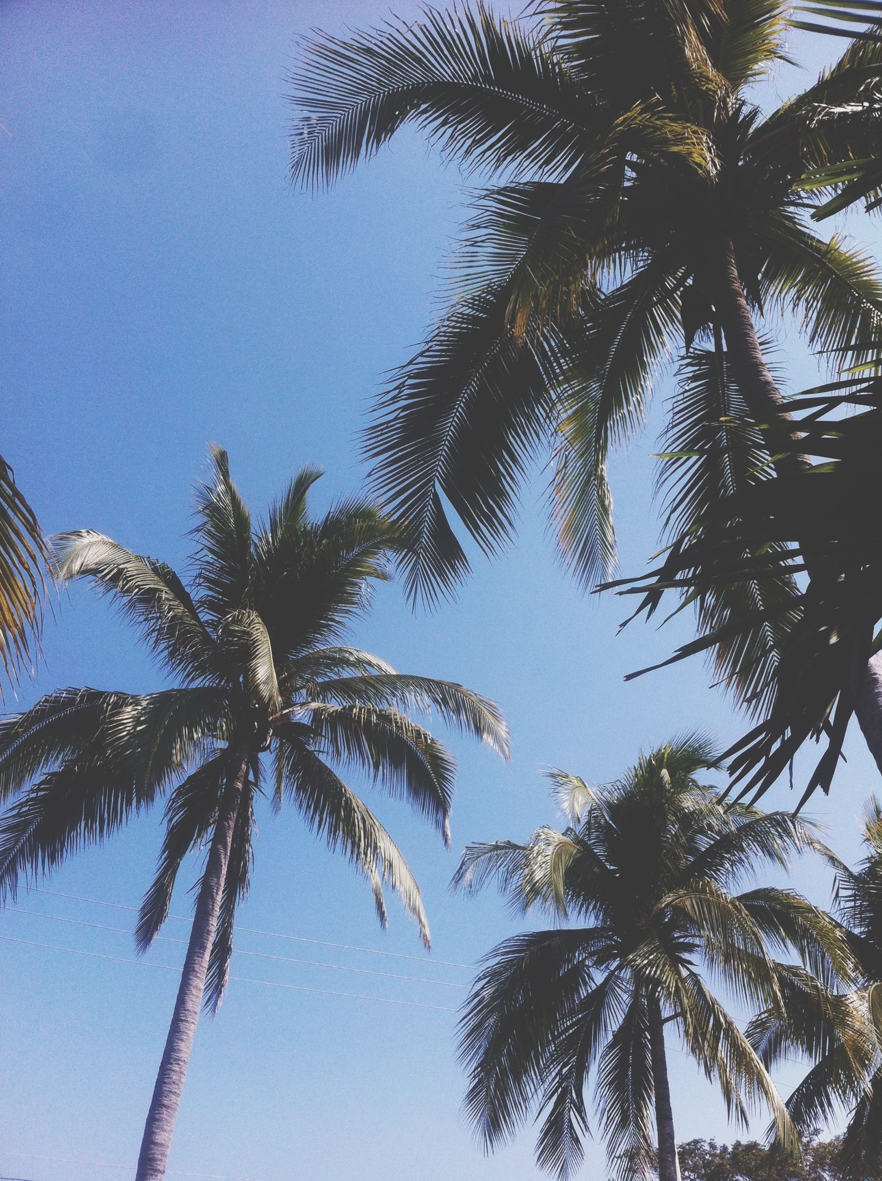 low angle view, palm tree, tree, growth, clear sky, branch, blue, nature, tree trunk, sky, tall - high, beauty in nature, tranquility, palm leaf, leaf, day, high section, outdoors, coconut palm tree, no people