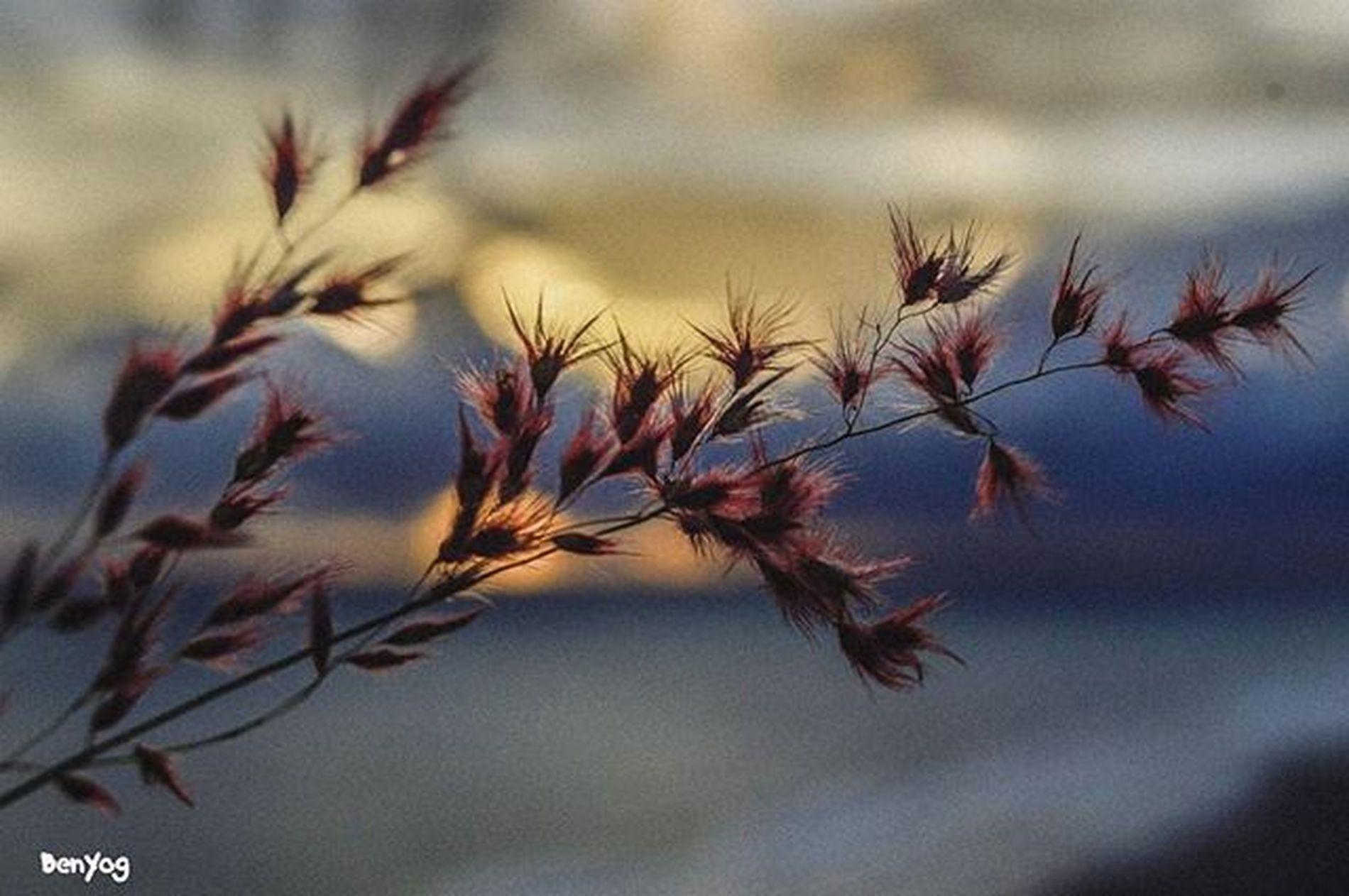 Bunga rumput berlatarkan senja,, Colek @marlinbrekele meneh, @rizaramadhana meneh, @pabayita Geblekkp Geblekchallenge02