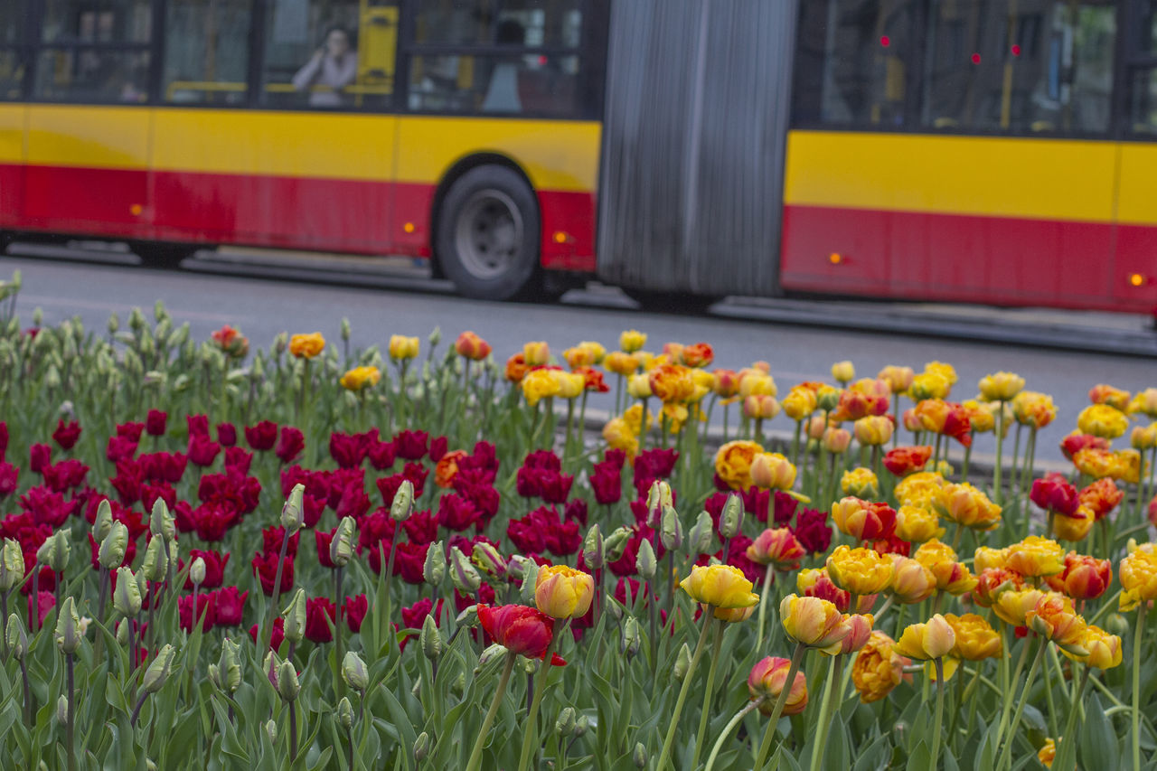 04.2017 Beauty In Nature Blooming City Bus Close-up Day Flower Flower Head Fragility Freshness Growth Land Vehicle Mode Of Transport Nature No People Outdoors Plant Poland Warsaw Road Transportation Yellow