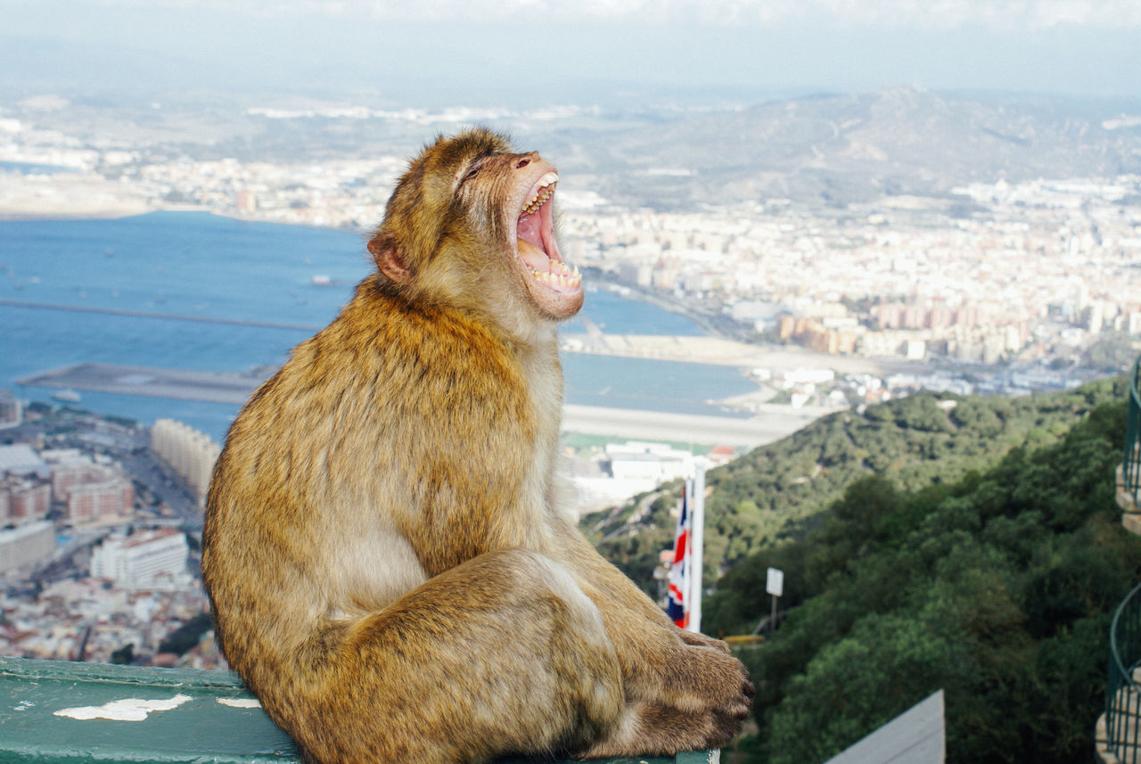 Monkey Shouting While Sitting On Wall With Cityscape And Sea In Background