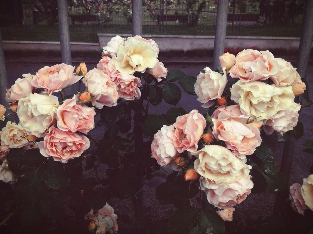 Grunge roses. Flowers Nature Taking Photos Hanging Out Relaxing EyeEm Nature Lover Flower Nature_collection Check This Out Getting Inspired