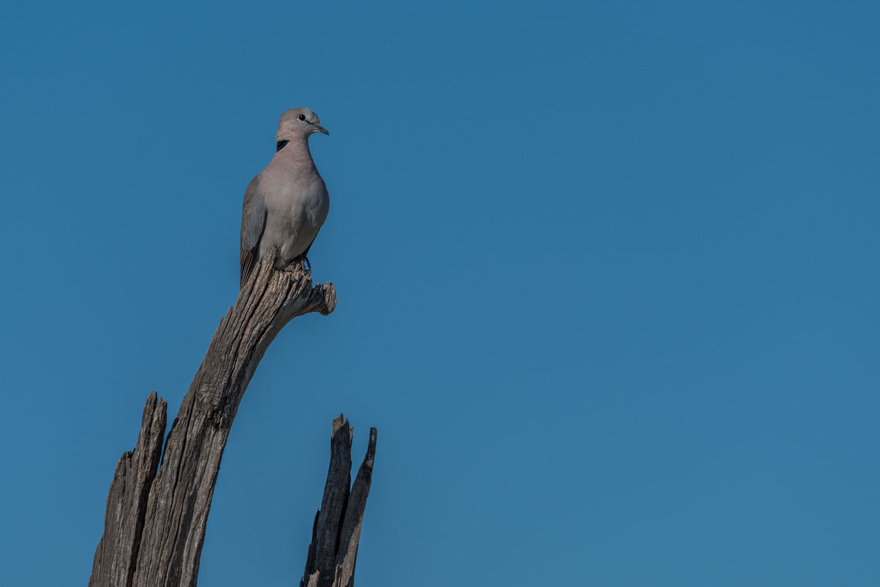 Beauty In Nature Blue Cape Turtle Dove Clear Sky Day Low Angle View Nature No People Outdoors Perching Sky Tranquility Wooden Post