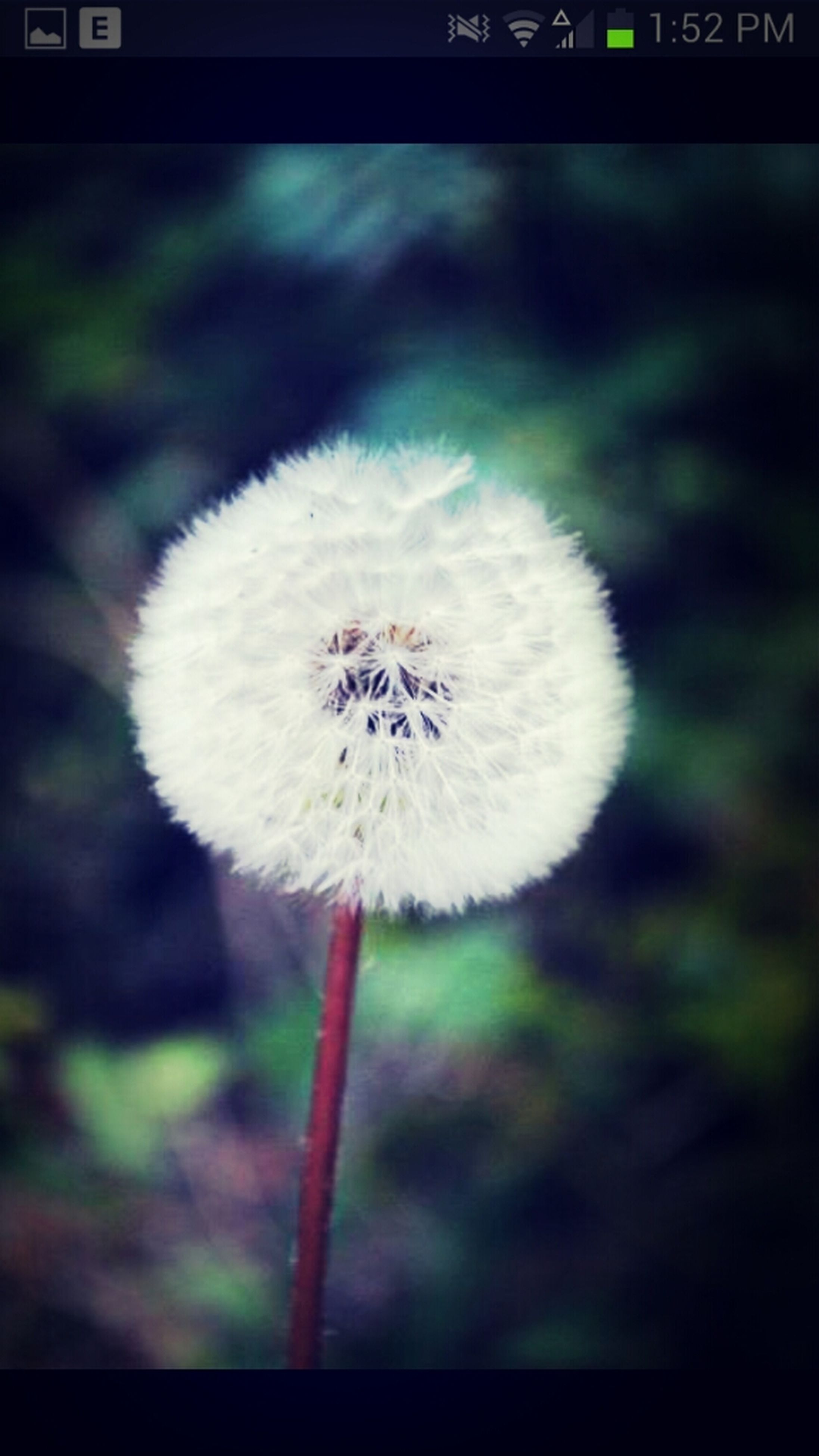 flower, dandelion, fragility, flower head, growth, freshness, focus on foreground, close-up, white color, beauty in nature, single flower, nature, stem, softness, white, petal, selective focus, plant, outdoors, auto post production filter