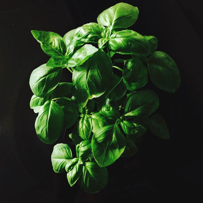 Herb Basil Food Whats For Dinner? Close-up Freshness Fragility Growth Beauty In Nature Plant Nature Black Background Green Color Botany Growing No People Foodporn EyeEm Best Shots EyeEm Nature Lover Still Life
