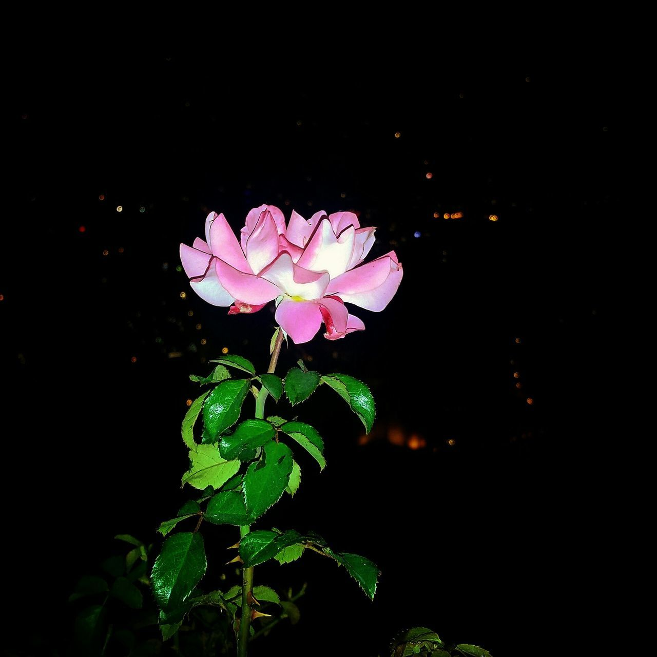 Roses Rose🌹 Rose♥ Nightphotography Castle Nature View Nightview Flower Alanyacastle Alanya Night Pink Rose Pink Turkey Color Photography Naturelovers Green Likeforlike Lifestyle Pretty ın Pink Türkiye Hello World WOW Beauty Turkishfollowers