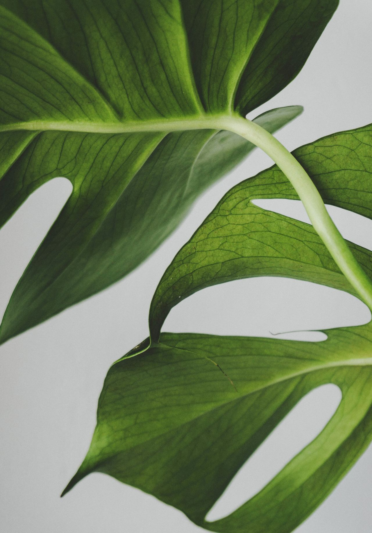 leaf Nature Green color Plant leaf vein close-up Growth no people full frame abstract Freshness beauty in Nature day Photosynthesis greenery homesweethome simplicity minimal white background houseplant Bright potted plant plantlife Minimalist lessismore