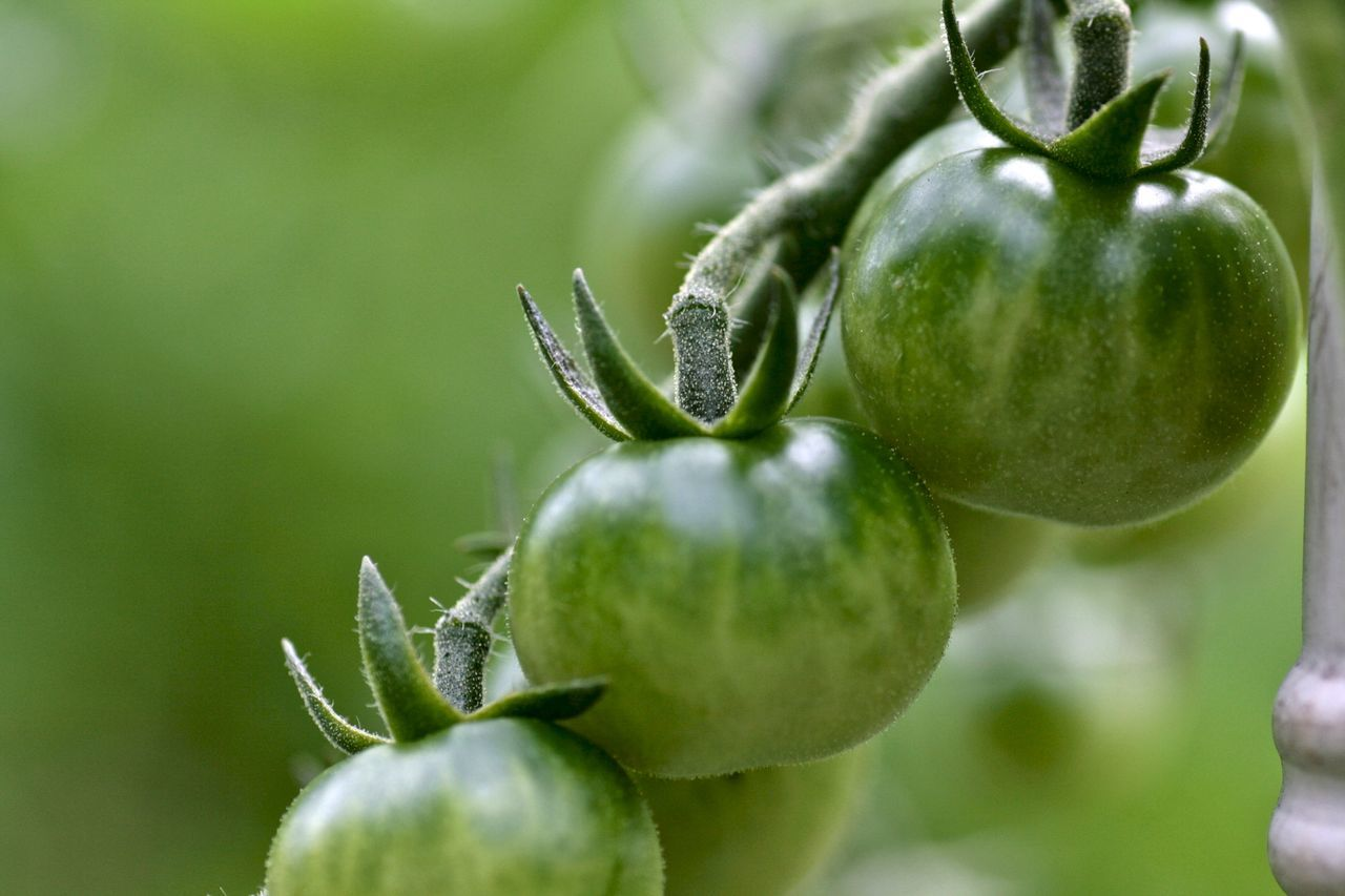 Close-up Green Tomatoes Healthy Eating Nature Tomato Plant
