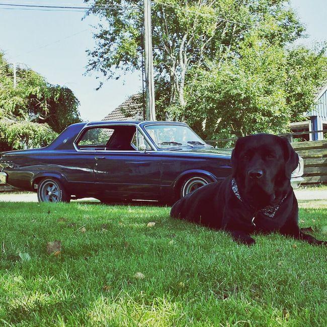 Dodge Dart Labrador