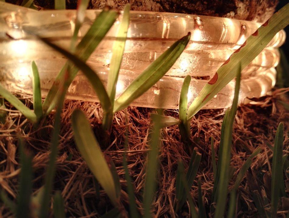 Nature Grass Plant Growth No People Outdoors Close-up Green Color Beauty In Nature Day Freshness Night Lights Tui Magic Life Urlaub Auf Fuerteventura Fuerteventura NewToEyeEm Smartphone Photography No Edit/no Filter Makro Photography Makro Bright Lights Bunte Lichter Nahaufnahmen Grass Draußen Im Grünen