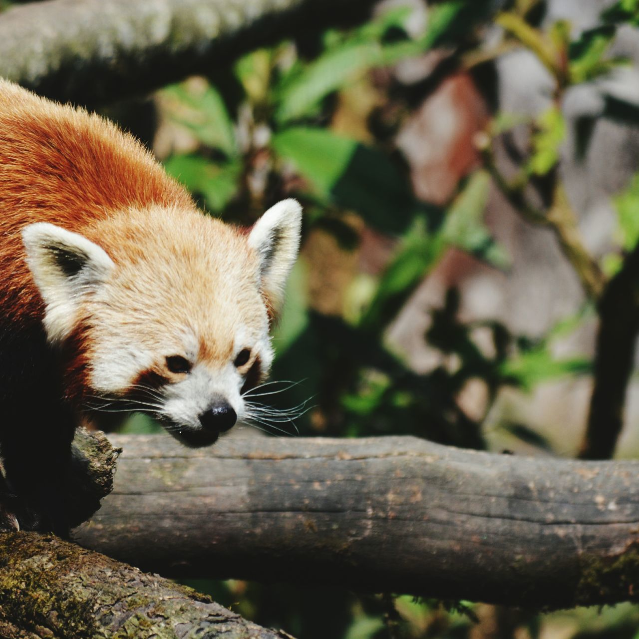 Redpanda Cutest Animal