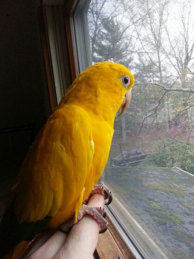 Thumper! Waiting for warmer weather! Pets Parrots Golden Conure