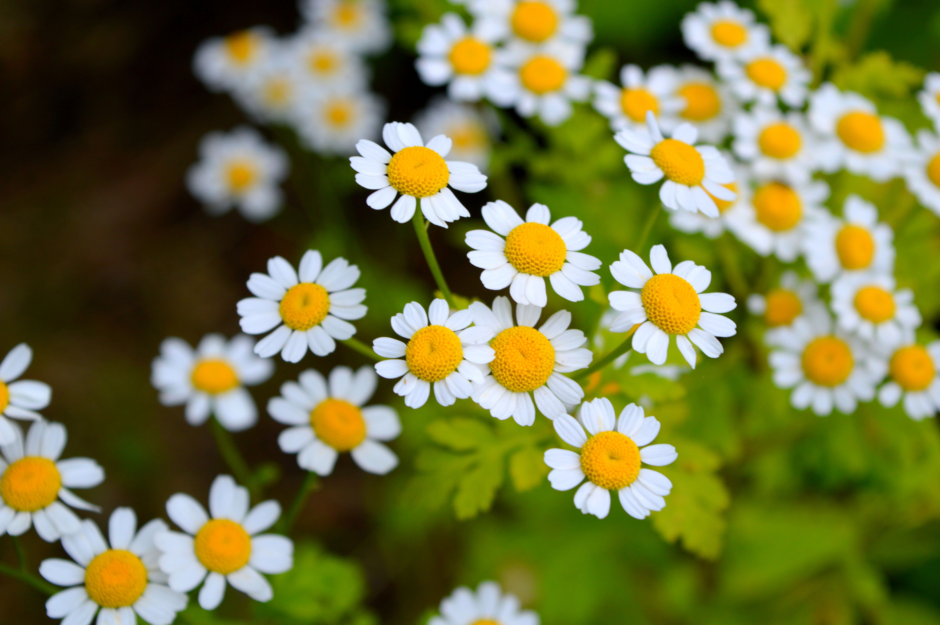 flower, freshness, petal, fragility, daisy, flower head, growth, beauty in nature, white color, blooming, nature, yellow, close-up, plant, focus on foreground, high angle view, selective focus, pollen, in bloom, field