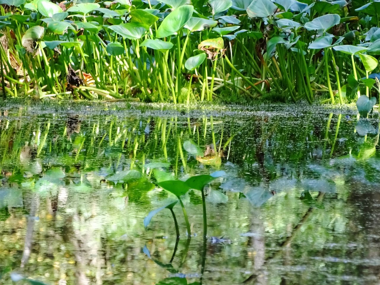 animals in the wild, reflection, animal themes, water, animal wildlife, one animal, green color, nature, day, no people, bird, outdoors, growth, lake, waterfront, leaf, plant, beauty in nature, grass, mammal