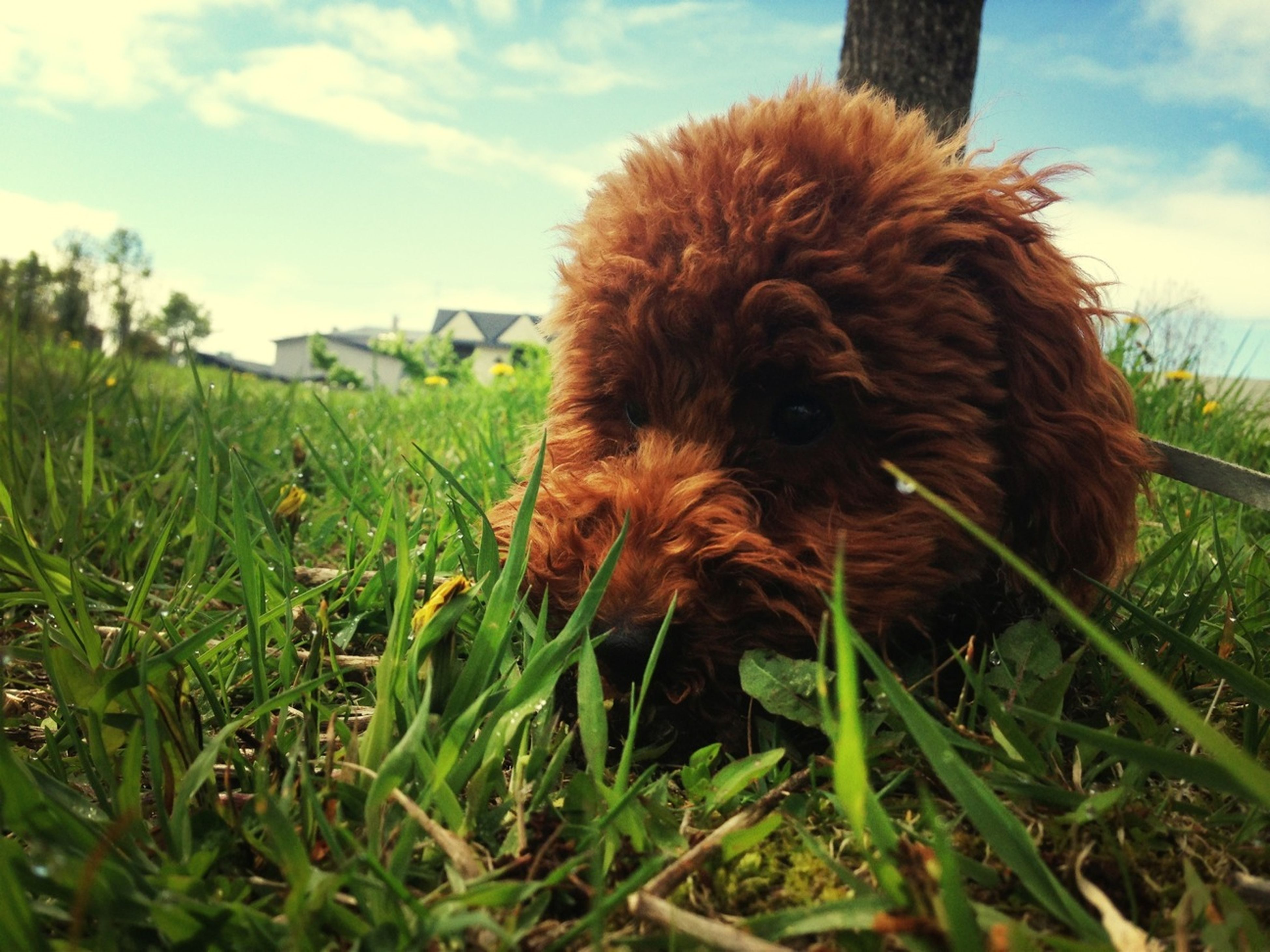 animal themes, one animal, domestic animals, grass, mammal, dog, pets, sky, field, grassy, brown, animal hair, growth, green color, nature, no people, outdoors, day, plant, close-up