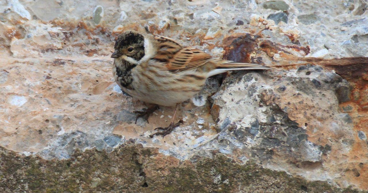 Reedbunting at Levenhall links Musselburgh East Lothian Scotland Nature Wildlife Birdlife