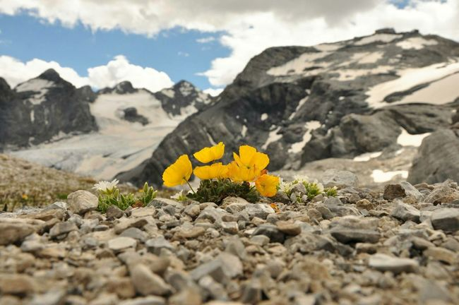 Alpine poppy in Stilfserjoch National Park. In the background Ortler's vanishing glacier Explore Mountaineering Wildnature Mountains Nature Photography Stelviopass Südtirol Stilfserjoch Alps Alpen Stelvio Ortler Landscapes With WhiteWall