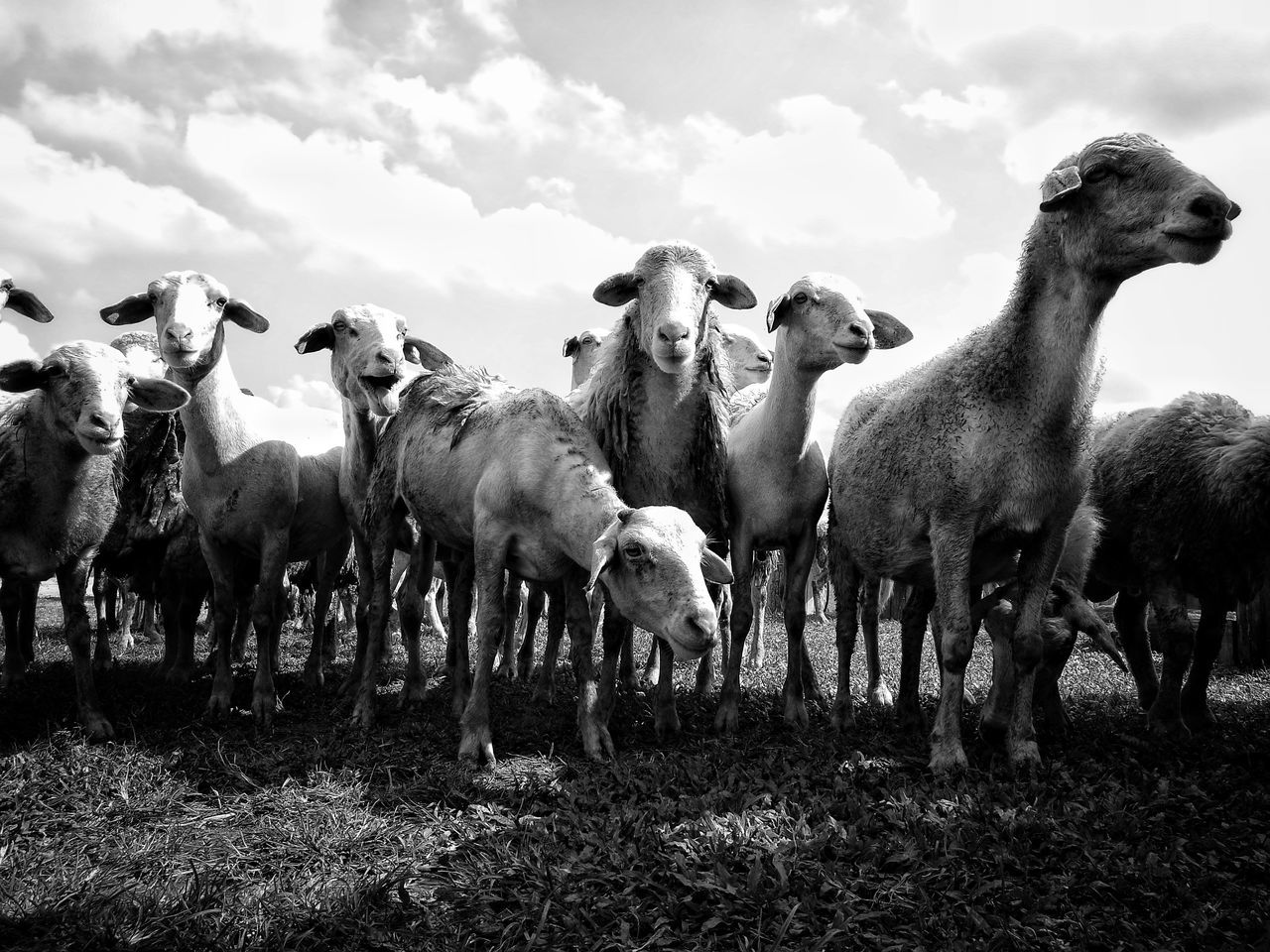 Sheep Sheeps Large Group Of Animals No People Sky Day Togetherness Mammal Sheeps 🐑 Animal Themes Grass Field Large Group Of Animals Chiangmai Chiang Mai Thailand Sheep Farm Pets Herd Summer Landscape Outdoors