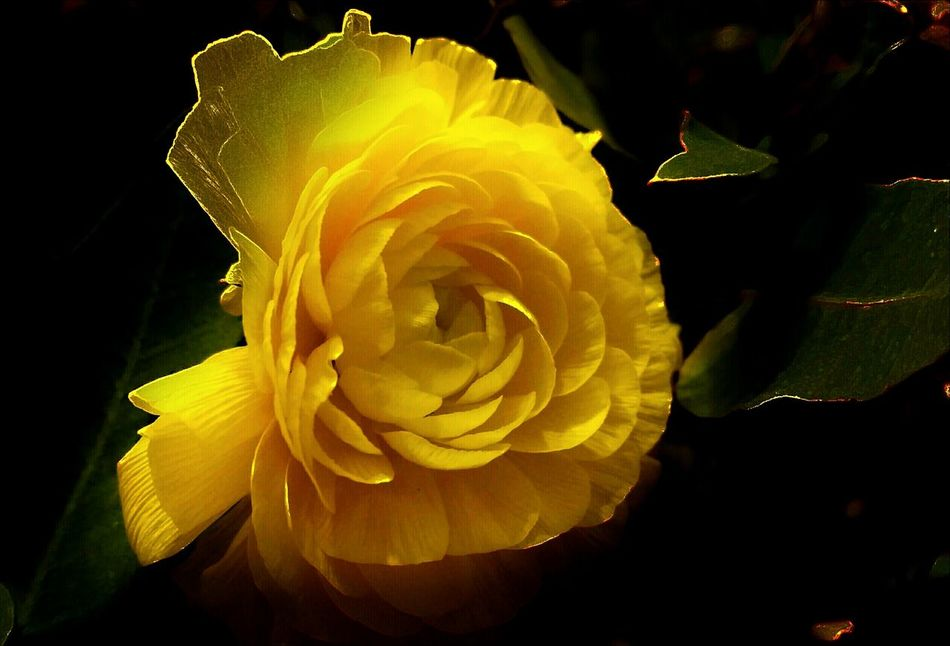 💫They All Yellow!💛💫💫 Shine In The Dark Yellow Flower Glowing Light In The Darkness Beauty Is In The Eye Of The Beholder Beauty In The Darkness Standing Alone Getting Inspired Simplicity Details Of Nature Beautiful ♥ Focused Photo