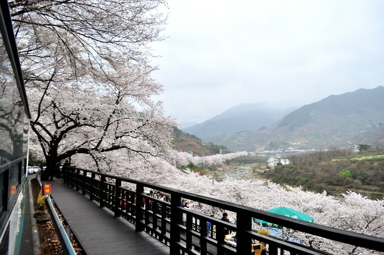 Korea Cherry Blossoms Spring Flowers Blooms Tree Lined Street View View From The Car Festival Scenery Season  Fresh Invigorating Hwagae Jinju ASIA Cherry Blossom Road Rural Village