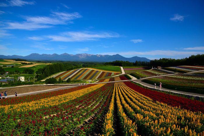 Premium Collection Selected For Premium 四季彩の丘 美瑛 Landscape Nature Flower Flowers Scenics Colorful Hill Biei D750 Nikon Hokkaido 北海道 Be. Ready.