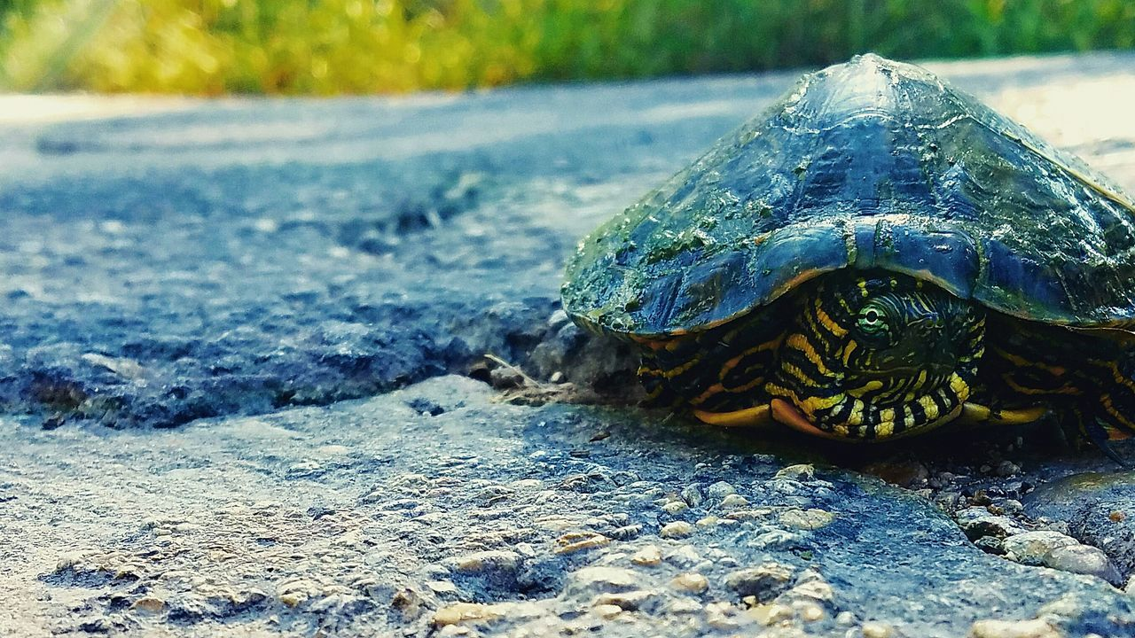 Almost wrapped my car around a tree because of this fella. Glad to report we're both A-Okay. Nature First Eyeem Photo Turtle Selective Focus Animal
