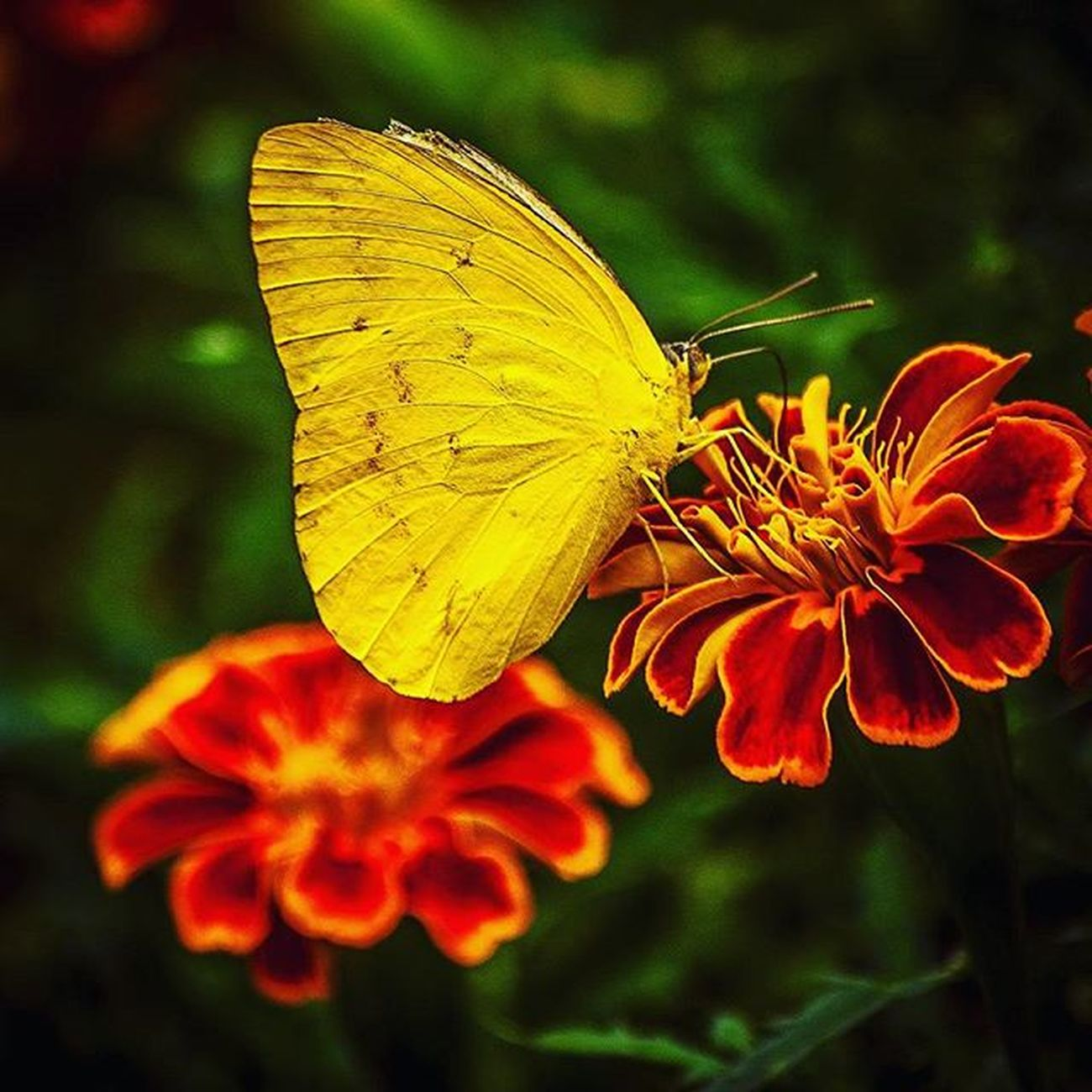 The Beauty of Nature . Flowergarden Yellowbutterfly Honeylover Naturegram Naturelover Photocontest Instacapture Instagoo Photo4Follow Instadaily Doubletap .