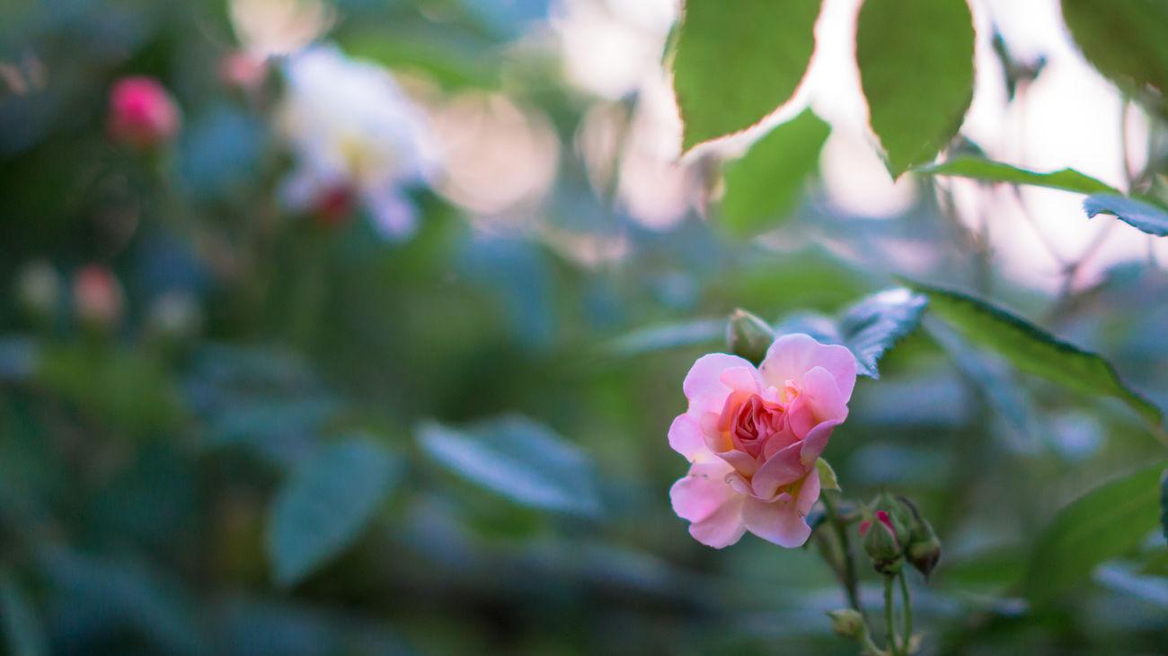 Old Rose Roses Magic Hour Twilight Flowers Garden Cornelia