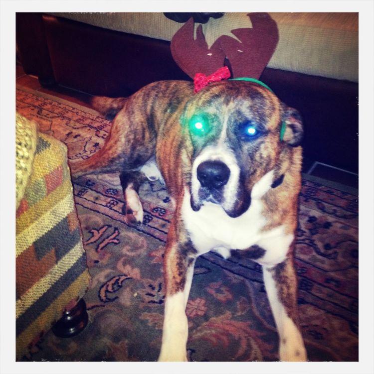 """Christmas """"spirit""""!!! Dog Christmas"""