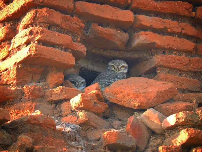 Owls Owllife Birds No People