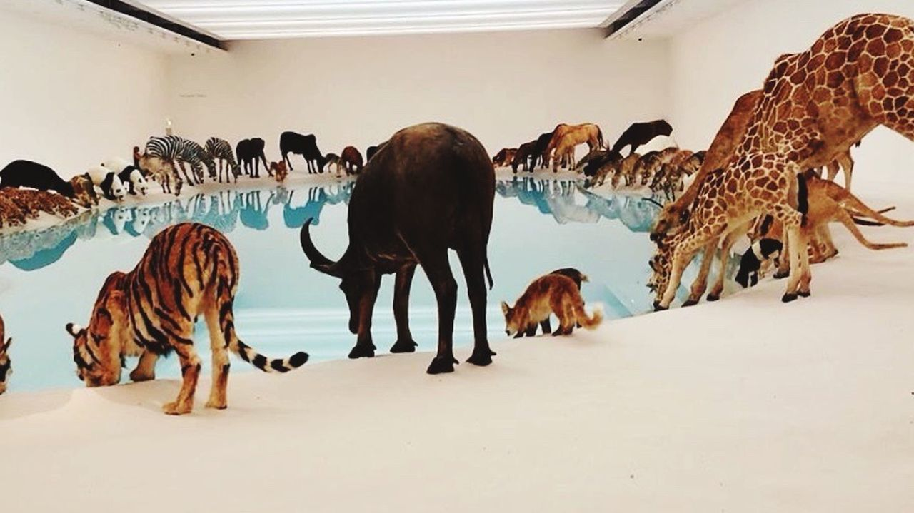 Cai Guo-qiang Goma Gallery Of Modern Art Brisbane WOlves Taxidermy Art