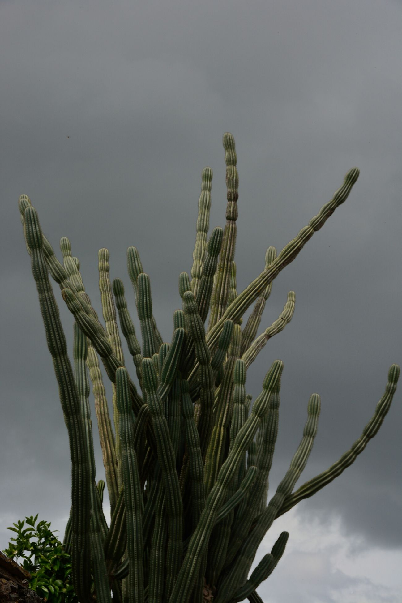 Cactus Tentacles Green Nature Dark Clouds Chtulhu