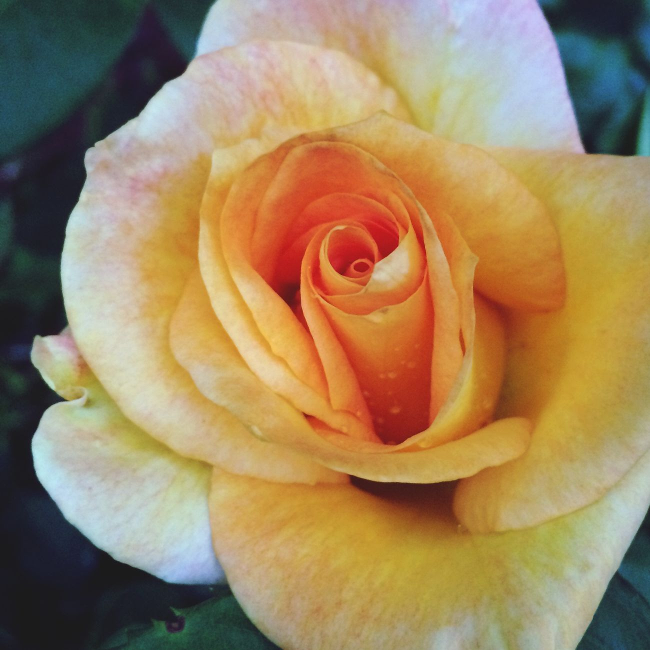 Yellow Rose Garde  Nature Beautiful
