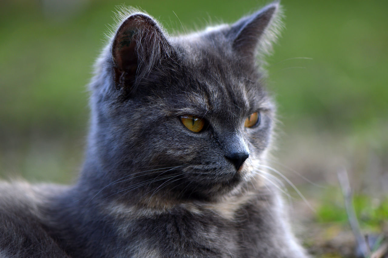 Grey & Green... One Animal Domestic Cat Animal Themes Domestic Animals Mammal Pets Feline No People Whisker Close-up Yellow Eyes Outdoors Day Grey Green Grey Cat Toffee Spring Freshness Beauty In Nature Springtime Cat Caturday Animal Portrait Cute