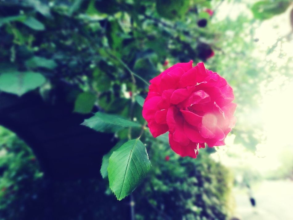 Antique rose. Flower Nature Plant Growth Beauty In Nature Red Fragility Close-up Petal Leaf Freshness Flower Head Outdoors Pink Color Peony  Roses Rose - Flower Flowerporn Flowers,Plants & Garden Floral Flora Eye Em Nature Lover