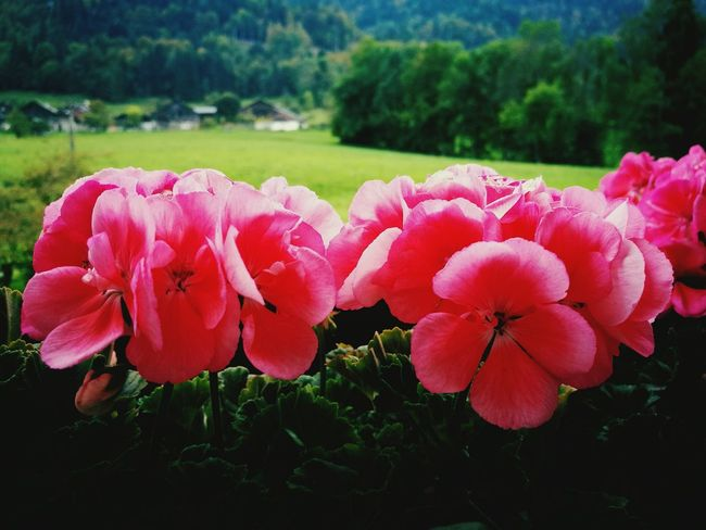 Differents colors of the nature... TakeoverContrast Flower Pink Color Pink Petal Nature Chalet Campagne
