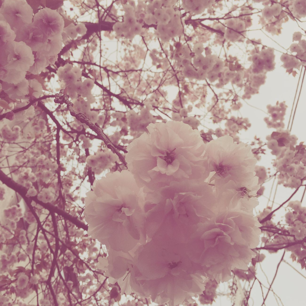 Cherry Blossoms Sakura Tokyo Japan Japanese Culture Spring Spring Flowers Pink Pink Flowers First Eyeem Photo