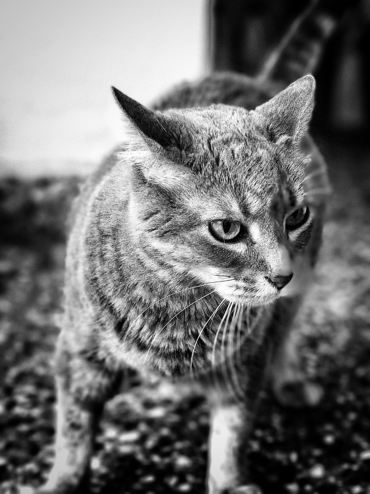 Domestic Cat Domestic Animals One Animal Pets Animal Themes Mammal Feline No People Close-up Nature Day Outdoors Black And White Photography Blsckandwhite Black & White Blackandwhite Black And White