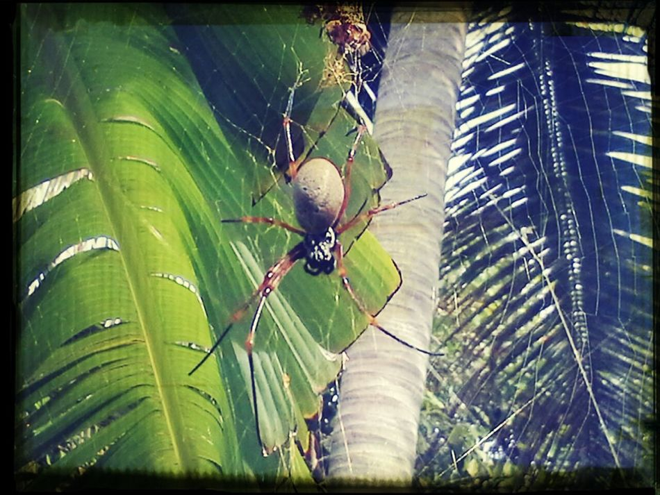 Garden Spiders Lifou 2014